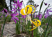Flowers of purple Grasswidow and yellow Glacier Lily bloom together on Table Mountain Trail #1209, near Blewett Pass, Wenatchee National Forest, Washington, USA. Erythronium grandiflorum is commonly known as glacier lily, yellow avalanche lily, and dogtooth fawn lily. Grasswidows have the scientific name Olsynium douglasii, with synonyms Sisyrinchium douglasii or Sisyrinchium grandiflorum, in the genus Olsynium, native to western North America from southern British Columbia south to northern California, and east to northwest Utah. Grasswidow is a perennial herbaceous bulbiferous plant which grows 10-40 cm tall with flowers having six purple tepals.