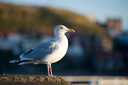 Herring Gull or Seagull perched on Whitby Harbour Sea Wall. Latin name Larus argentatus. Usually grey in colour with a yellow bill immature birds aged between one and four years are a mottled brown. September 2010 .Images © Paul David Drabblelight Latin name Larus argentatus. Usually grey in colour with a yellow bill immature birds aged between one and four years are a mottled brown. September 2010 .Images © Paul David Drabble