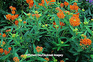 63821-04319 Butterfly Milkweed (Asclepias tuberosa) Marion Co.   IL