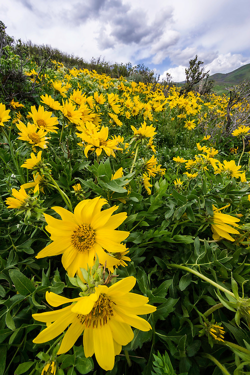 Yellow Balsomroot wildflowers bloom on the hills of the Wasatch Mountains in Spring.