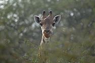 giraffe, Giraffa camelopardalis, girafe , Sjiraff, 努比亚长颈鹿, キリン, زرافة