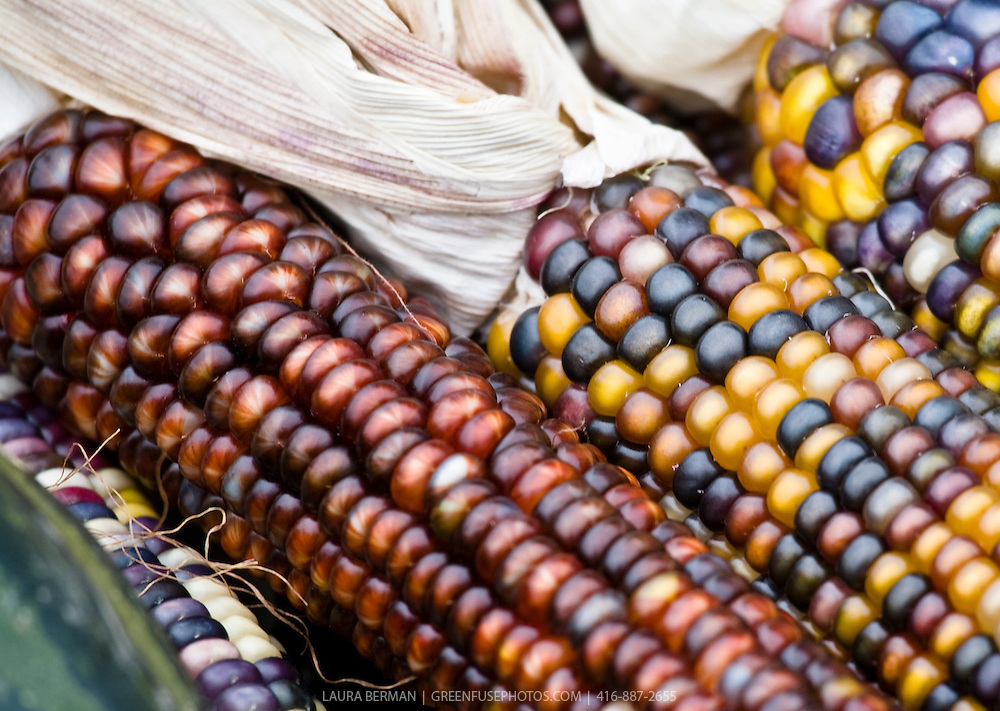 Ears of multi-colored corn.