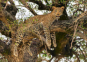 Leopard resting and watching from a tree in Maasia Mara, Kenya.