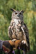 Eurasian Eagle-owl (Bubo bubo)<br /> Secret World Wildlife Rescue Center<br /> Somerset<br /> England<br /> UK<br /> captive