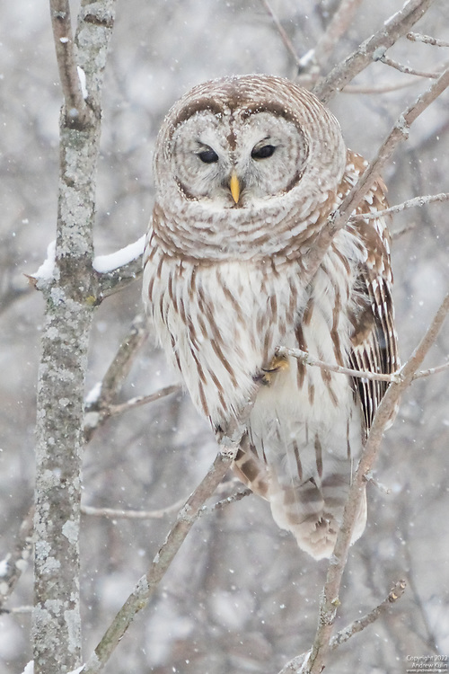 This barred Owl is well camouflaged in the bare snow covered branches.  Oak Ridges Moraine, Durham Region, Ontario.