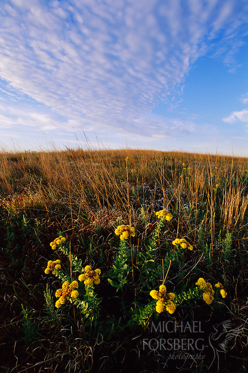 Goldenrod, Spring Creek Prairie, Nebraska.