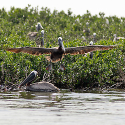 A Brown Pelican dives into the water at a barrier island in Bay Conquille that is home to a variety of birds off the coast of Louisiana, U.S., on Tuesday, June 15, 2010.  Oil from Deepwater Horizon spill continues to impact areas across the coast of gulf states. (Mandatory Credit: Derick E. Hingle).