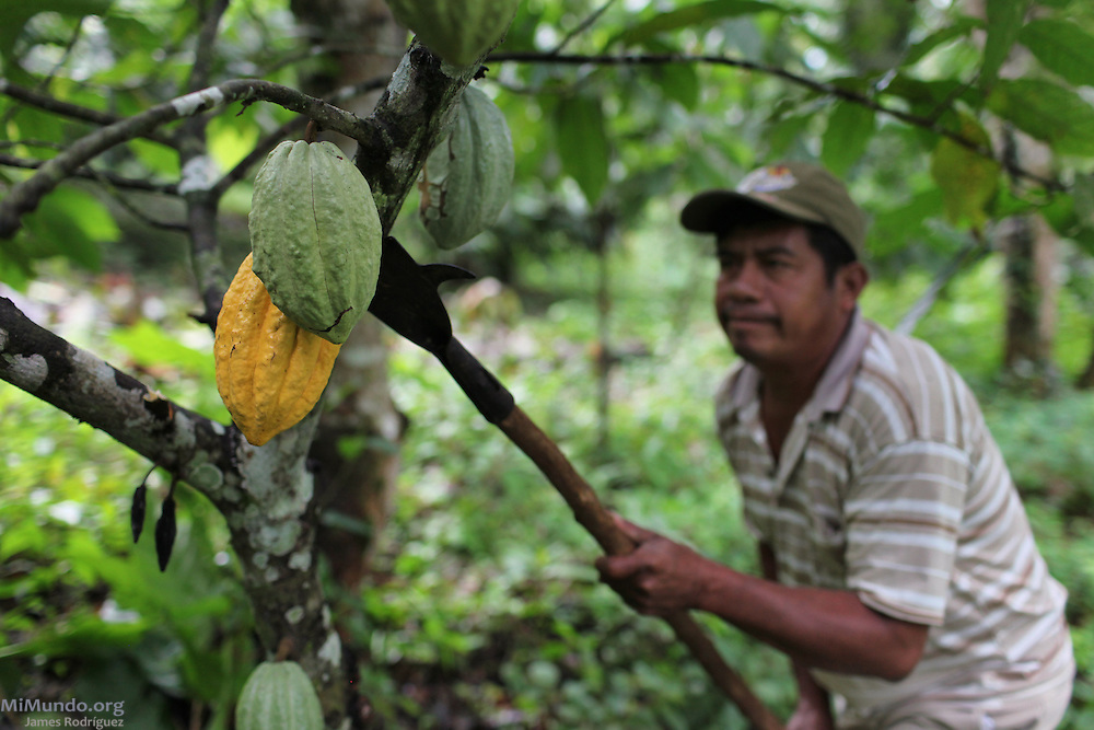 Justino Peck, 49, Mopan Mayan cacao grower from San Jose, Toledo, harvests cacao pods from his personal lot. Mr. Peck served as TCGA chairman from 1992 to 1997, once again from 2003 to 2010, and is currently the TCGA's liaison officer. Toledo Cacao Growers' Association (TCGA), San Jose, Toledo, Belize. January 25, 2013.