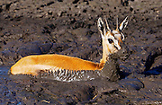 Young Thomsons Gazelle stuck in the mud of a drying river bed, Grumeti,Tanzania