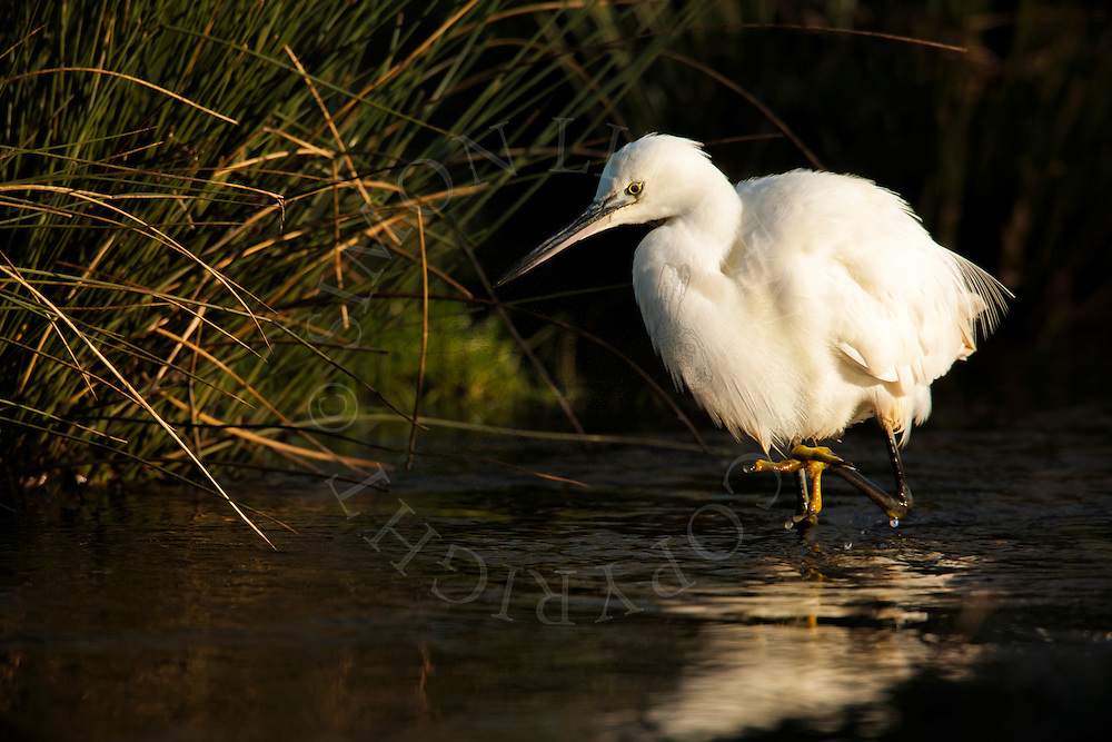 Little Egret (Egretta garzetta) adult, hunting in stream, Norfolk, England