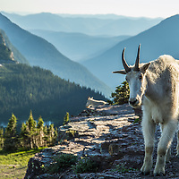 two mountain goats, billy on cliff, glacier national park