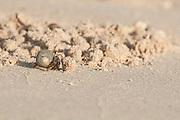 Pacific hermit crab on the sand of the beach at Pacheca island shore. Las Perlas Archipelago, Panama Province, Panama, Central America.