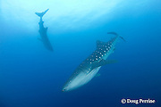 two whale sharks, Rhincodon typus, in the Gladden Spit & Silk Cayes Marine Reserve, off Placencia, Belize, Central America ( Caribbean Sea )