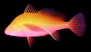 X-ray of a freshwater drum (Aplodinotus grunniens), the only freshwater fish in the family Sciaenidae.  This is a false color x-ray.