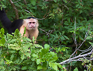 A white faced monkey looks out from the jungle.