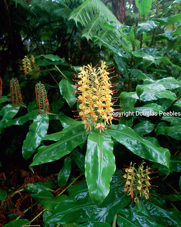 Kahili Ginger, Hawaii Volcanoes National Park, Island of Hawaii, Hawaii, USA<br />