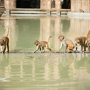 Monkeys at Galta Hindu temple at Jaipur