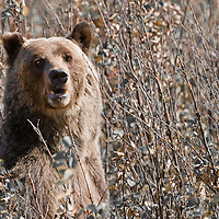 grizzly bear mature, staning fall brush