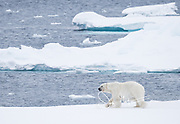A male polar beer walks along the sea ice off the coast of Spitzbergen, Svalbard, Norway.