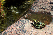 Northern Leopard Frog (Rana pipiens) photographed on the shore of Georgian Bay, Ontario, Canada.