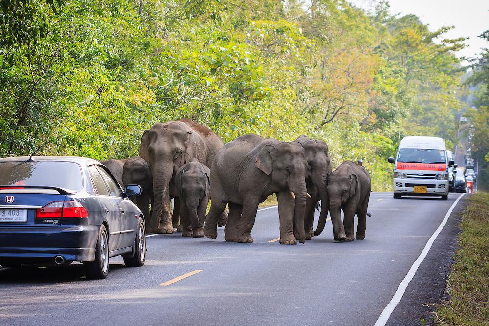 Herd of Asian Elephant (Elephas maximus) walking along road full of vehicles. Khao Yai National Park. Thailand.