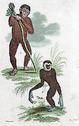 Orang Utang and Gibbon. Hand-coloured engraving 1822.
