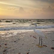 Great Egret (Ardea alba). Delnor-Wiggins Pass State Park, Naples, Florida.