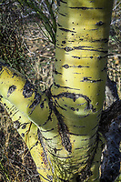The trunk of a Palo Verde tree. I love the color and the textures of these trees. It makes me think of a green Aspen tree.