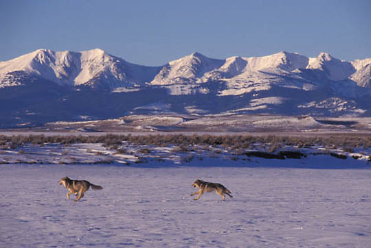 Gray Wolf, (Canis lupus) Pair running. Montana.Winter. Captive Animal.