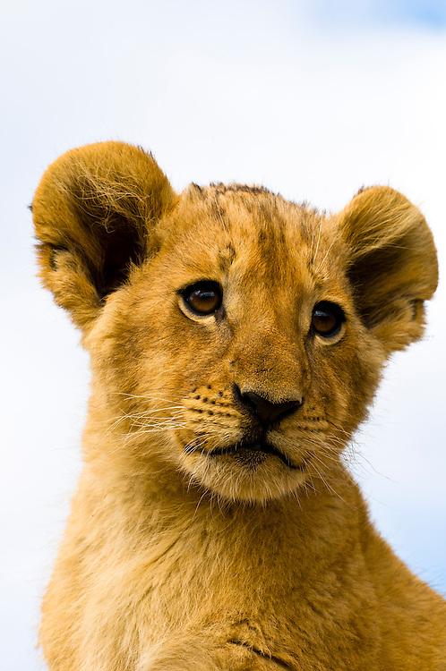 3 1/2 month old lion cub, Lion Park, Johannesburg, South Africa