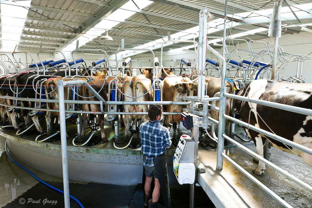 A farmer operating a Laval automatic milking system on a South Island New Zealand dairy farm.