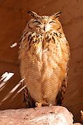 Israel, Aravah, The Yotvata Hai-Bar Nature Reserve breeding and reacclimation centre. Pharaoh Eagle-Owl (Bubo ascalaphus)