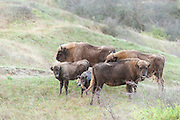 European Bison (Bison bonasus) herd walking in dune landscape of Kraansvlak
