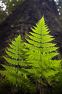 Backlit ferns emerge from the side of a tall redwood, Prairie Creek Redwoods State Park