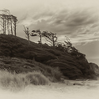 Windswept Pines along the pacific coast.