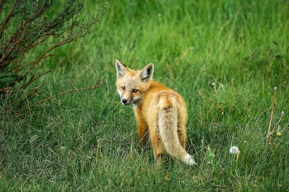 Red Fox [Vulpes vulpes] kit; den site in city park, Jackson, Wyoming
