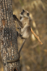 Gray Langur (Semnopithecus dussumieri) in India