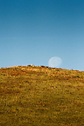 Waning moon at the buffalo roundup, Custer State Park, South Dakota.