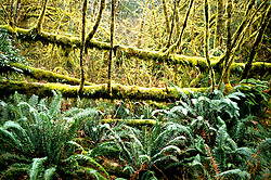 California: Redwood forest environment..Photo copyright Lee Foster, 510/549-2202, lee@fostertravel.com, www.fostertavel.com..Photo #: cared2101