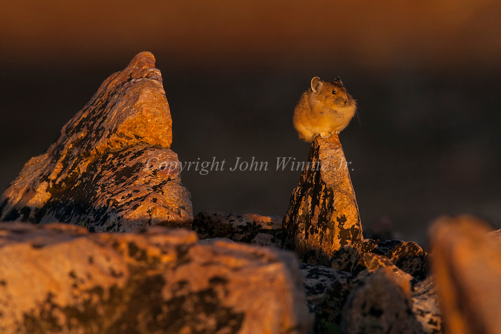 Pika on the Beartooth Plateau, Wyoming.