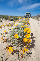 Namaqualand Daisies in a Jeep Track in the Namaqualand National Park. Northern Cape. South Africa