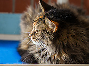 Gizmo is an 8 year old spayed Norwegian Forest cat.  She was surrendered because the newborn child was allergic to her.