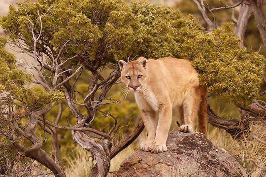 Mountain Lion, (Felis concolor) In foothills of Montana. Captive Animal.