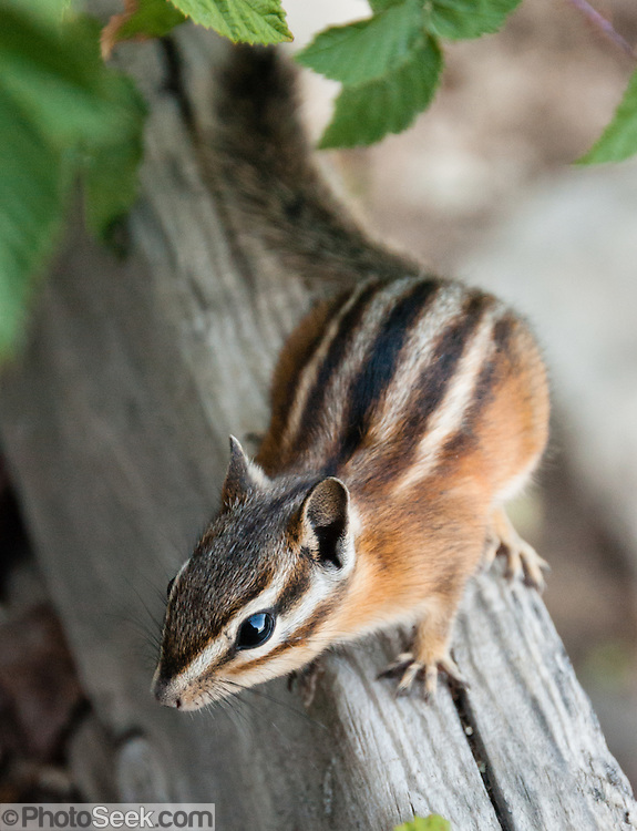 The least chipmunk (Neotamias minimus) is the smallest and most widespread species of chipmunk in North America. Photographed in Sawtooth National Recreation Area, Idaho, USA. Chipmunks are small, striped squirrels, which are rodents in the family Sciuridae. All species of chipmunks are found in North America, except for the Siberian chipmunk of Asia. The least chipmunk lives across north-central and western United States and from British Columbia and southern Yukon to western Quebec in Canada, in habitats including mixed deciduous and coniferous forests, boreal forest, and sagebrush plains. They have three dark lines with white in between along their face and five black stripes with brown edges with white in between along their back. They are grey and reddish-brown on the sides and greyish white on their underparts. Their tail is orange-brown. These animals are active during the day and eat seeds, berries, nuts, fruits and insects. They breed in early spring. Females produce one litter usually of 5 or 6 young. They store food in an underground burrow, where they spend the winter. They go into a state of torpor for extended periods, but do not hibernate. Chipmunks have facial stripes, whereas golden-mantled ground squirrels lack facial stripes.