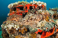 Couple of scorpionfish (Scorpaena porcus) lying on the artificial reef, Larvotto Marine Reserve, Monaco, Mediterranean Sea<br />