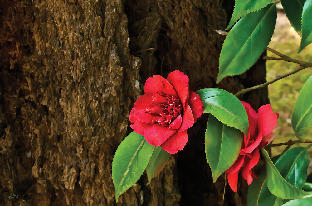 Red Camillia in front of tree trunk, bright green leaves