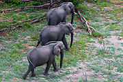 An aerial view of three African elephants, Loxodonta africana, walking.