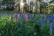 Bigleaf Lupines (Lupinus polyphyllus) flowering in the spring at Elgin Heritage Park in Surrey, British Columbia, Canada.