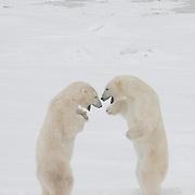Polar Bears (Ursus maritimus) play fighting, Churchill, Manitoba, Canada