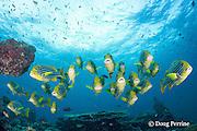 school of oriental sweetlips, Plectorhinchus orientalis, Dharavandhoo Thila, Baa Atoll, Maldives ( Indian Ocean )